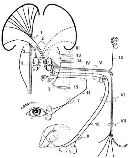 лицевой нерв (топография ядер