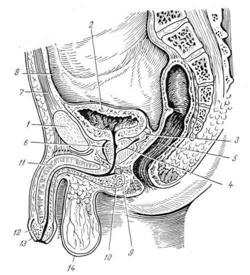 iz-spermatozoidov-sekreta-predstatelnoy