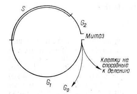 Схема митотического цикла клетки.