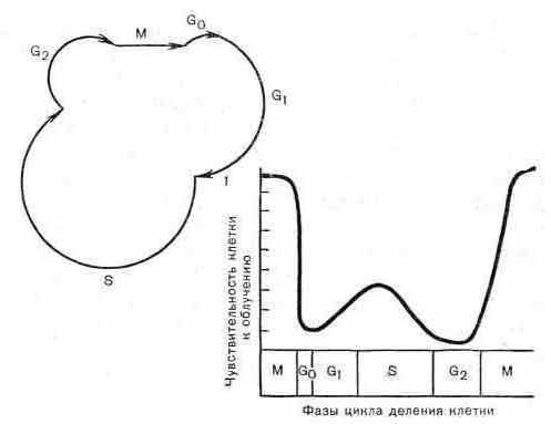 Схема цикла деления клеток опухолевых и нормальных тканей и радиочувствительность клеток в различные периоды