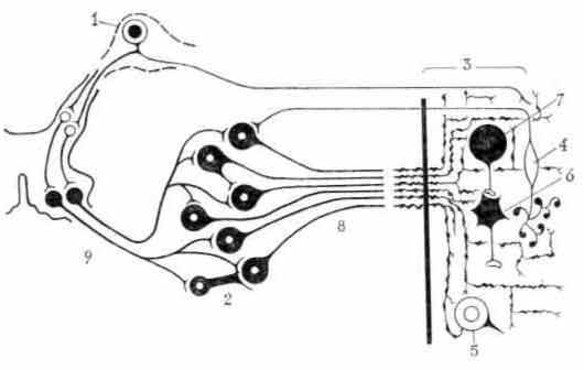 Схема основных особенностей адренергической иннервации стенок полых гладкомышечных органов