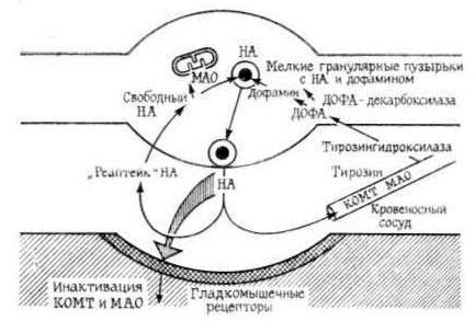 Схема адренергического синапса