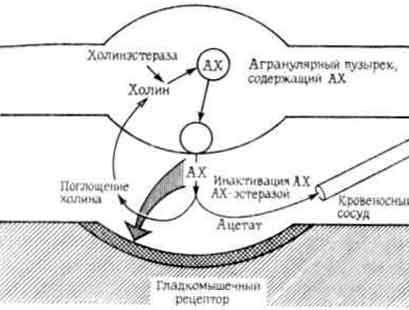 Схема холинергического синапс