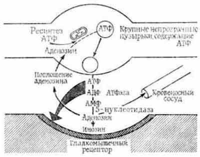 Схема пуринергического синапса