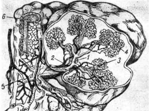 Интраорганное кровоснабжение околоушной слюнной железы и eё выводного протока
