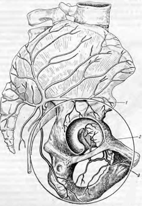 Кровоснабжение вертлужной впадины(скомпановано по Гейцману и Воробьеву)