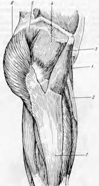 Мышца наружного отдела тазобедренного сустава (по Синельникову)