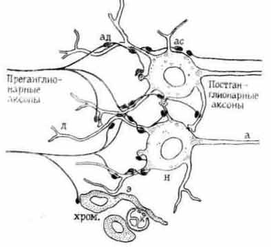 Схема внутриганглионарных связей адренергических нейронов [Бэрнсток Д., Коста М., 1979]