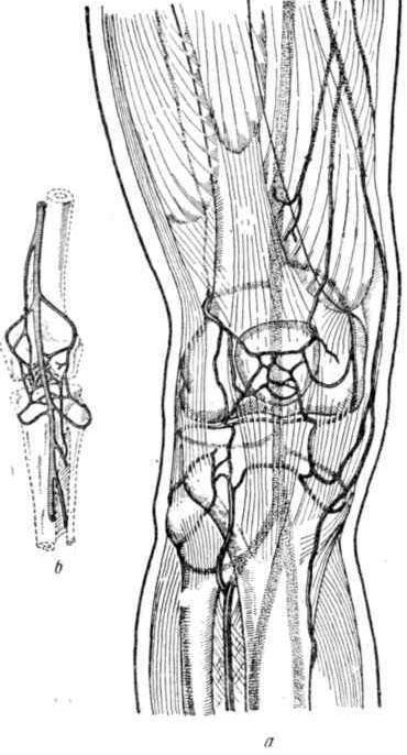 Артериальное кровоснабжение коленного сустава
